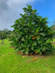 Breadfruit Tree.JPEG