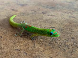 Gold Dust Day Gecko 2.JPEG