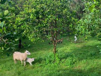 Ewe and Lamb.JPEG