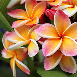 frangipani feature tree.jpg