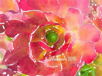 Coral Succulent