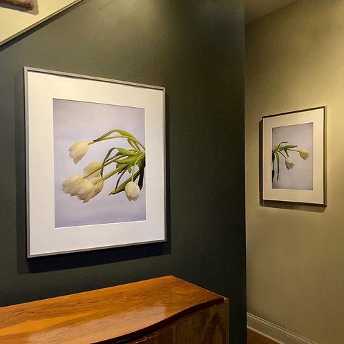 Split Scene White Tulips 24X28ea