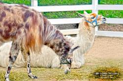 Llamas Shelly Lawler Art