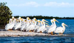 Pelican Island Shelly Lawler Art
