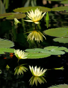 LIght Waterlilies  Shelly Lawler Original 42 x 54  custom size available