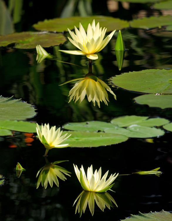 Shelly Lawler Yellow Waterlilies