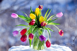 """Shelly Lawler """"Tulips in the Snow"""""""