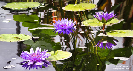 Purple Waterlilies  Shelly Lawler Original 34 x 54  custom size available