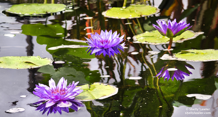 Shelly Lawler Lilies In Purple on canvas