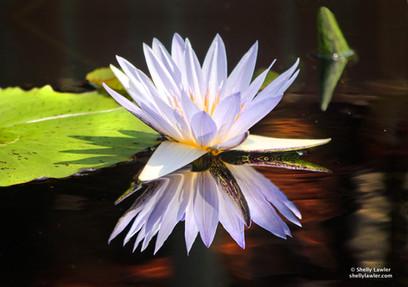 Jewel Lotus  Shelly Lawler Original 34 x 56 custom size available