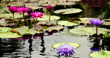 Shelly Lawler Waterlilies on canvas