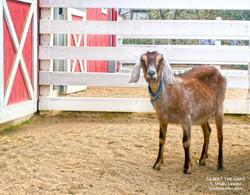 Gilbert the Goat Shelly Lawler Art