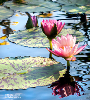 Coral Waterlilies Shelly Lawler Original 16 x 20 custom size available
