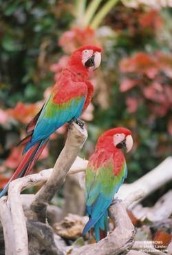 Macaws Shelly Lawler Art
