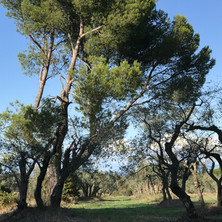 Olive grove near St. Remy