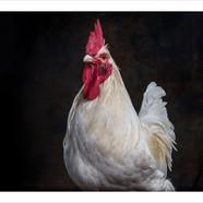 Rooster .jpg
