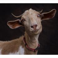 Goat #2 .jpg