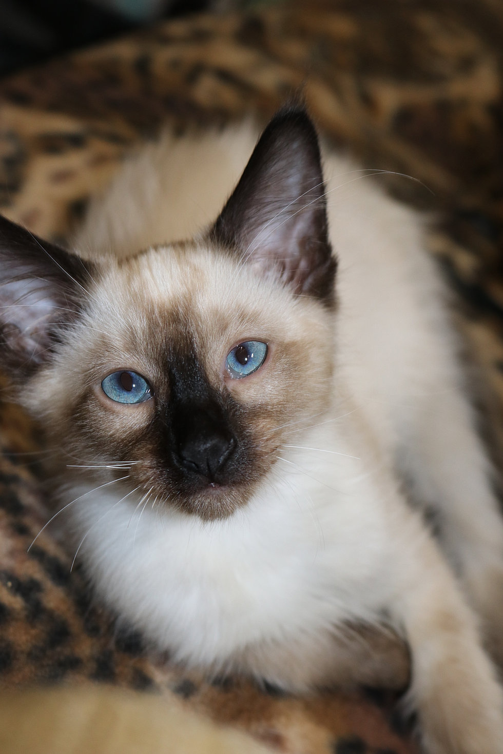 Purfect Paws Siamese Kittens, Cat Breeder Chicago