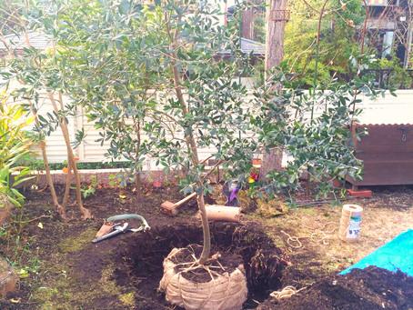 葉山町のお庭・オリーブの移植