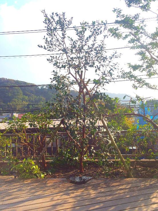 葉山町 フェイジョア植栽