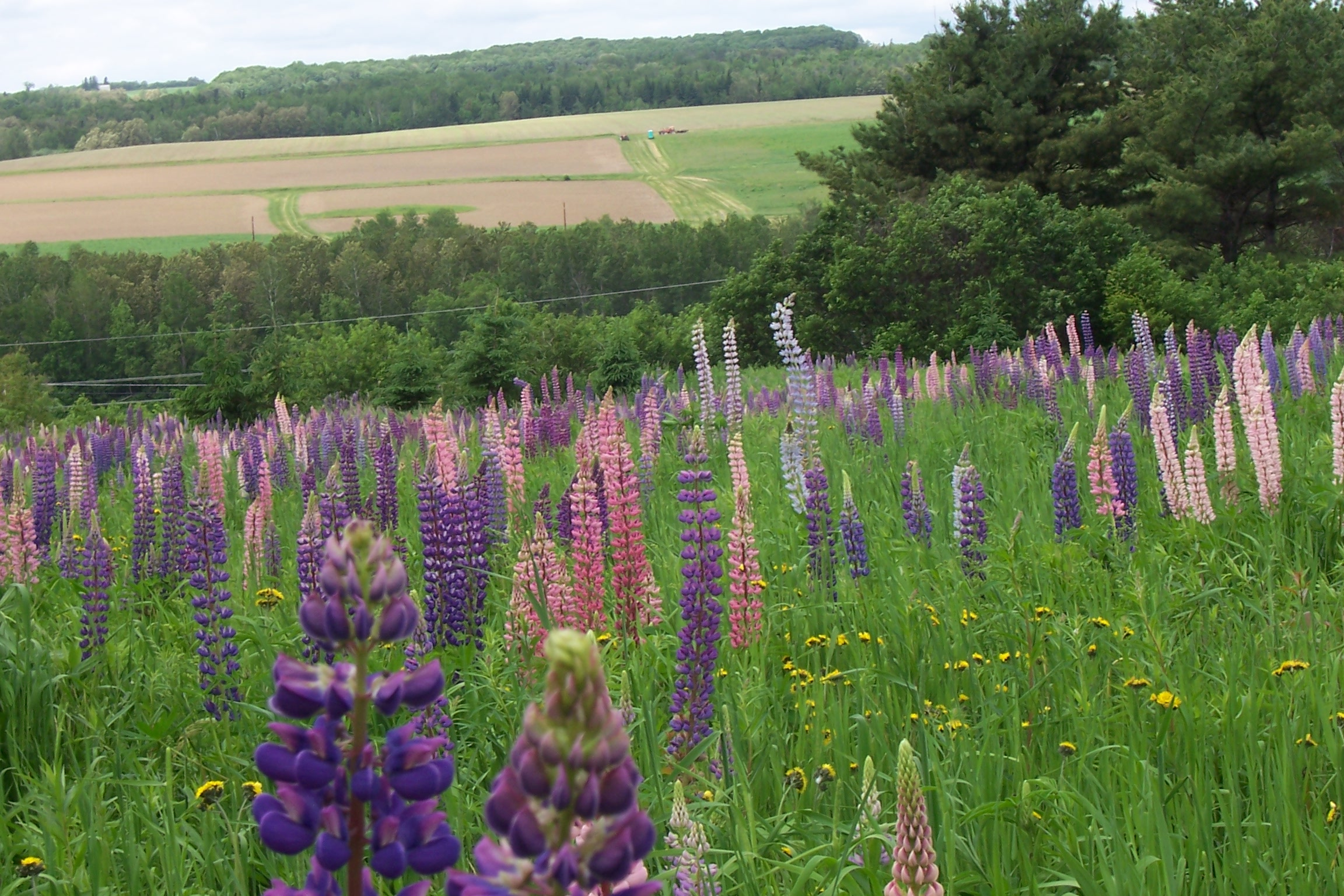 Fields of lupine.