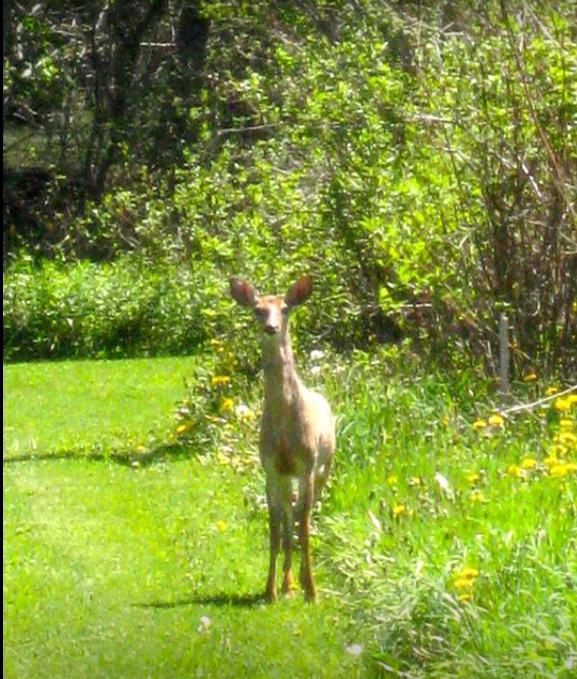 A young deer likes our trails.