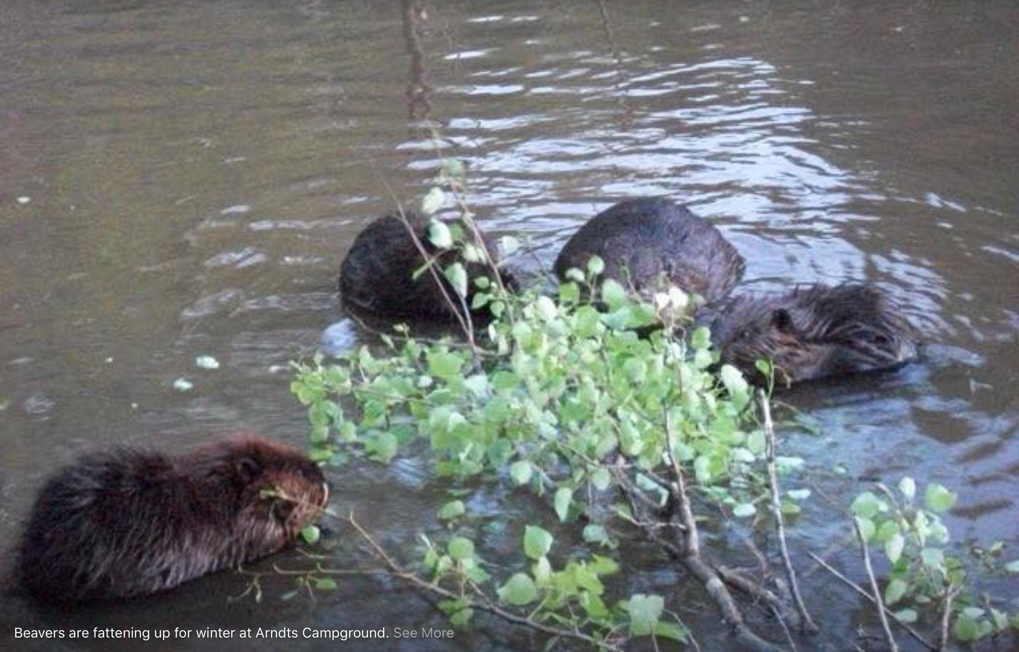 A beaver family.