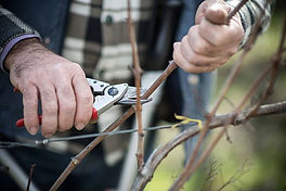 pruning grapes.jpg