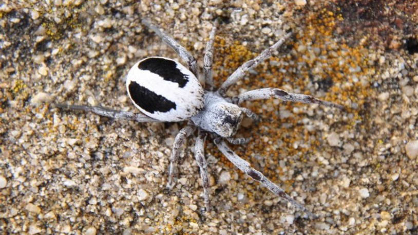 Stegodyphus Lineuatus juv