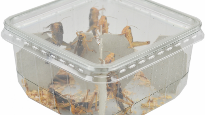 Locust (Hoppers) - Pre Pack Tub