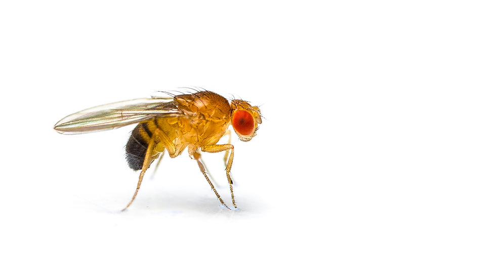 Fruit Fly - Tubs
