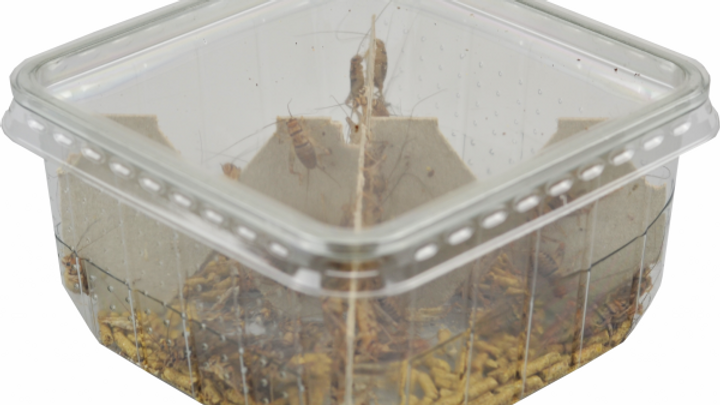 Banded Crickets - Pre Pack Tub