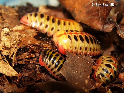 Rhopalomeris carnifex | Candy Ball Pill Millipedes