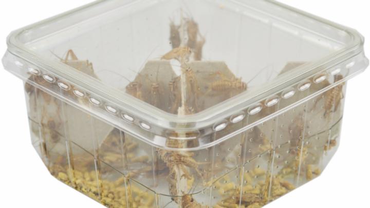 Cricket – Size 2 – Dust / Hatchlings