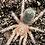 Thumbnail: Grammostola Rosea 1-2cm