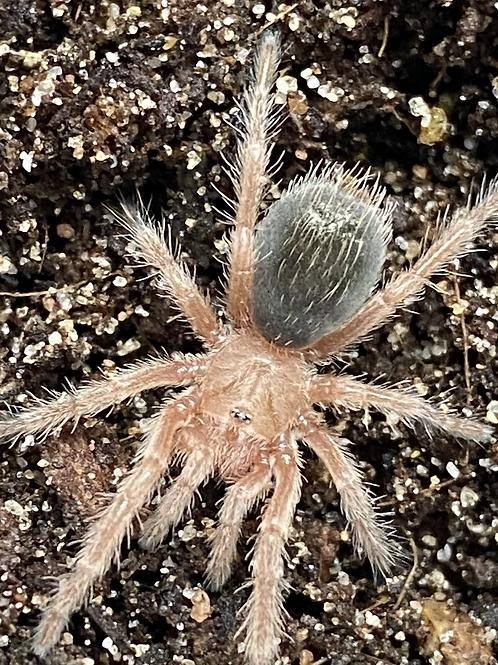 Grammostola Rosea 1-2cm
