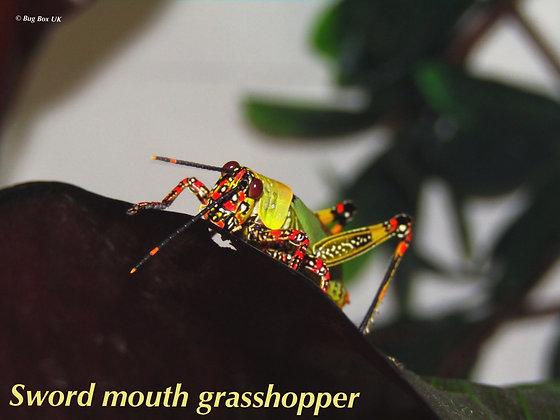 Sword mouth Grasshoppers Trio