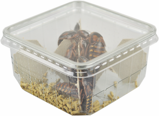 Dubia Roaches Adult – Pre Packed Tub