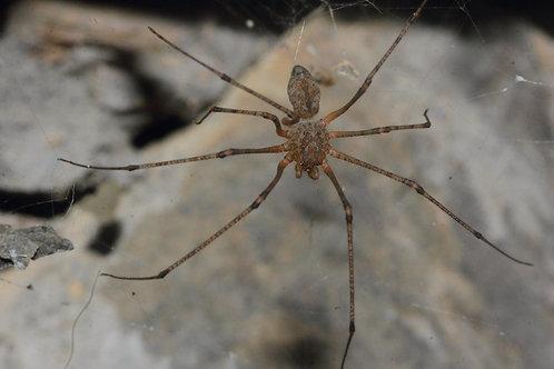 S.longipes (GIANT Spitting Spider)