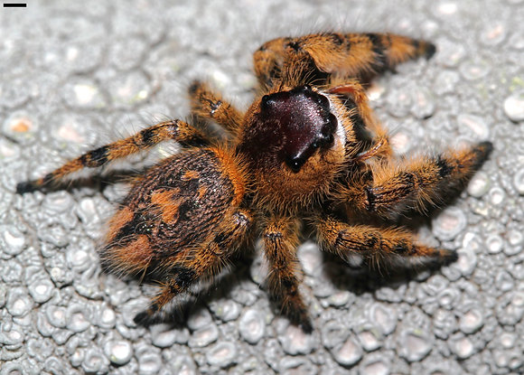 P.  otiosus (Kissimmee Florida) red colour