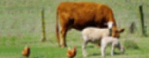 Cow and sheep 1213x475_300dpi.jpg