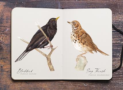 BlackBird and S.thrush.png