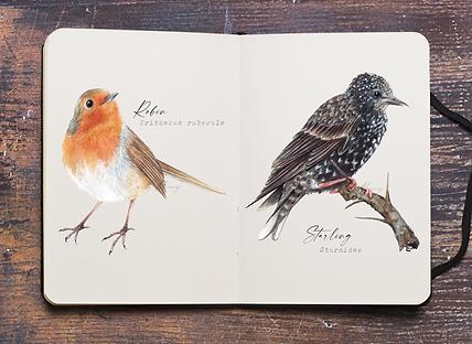 Starling. Robin.png