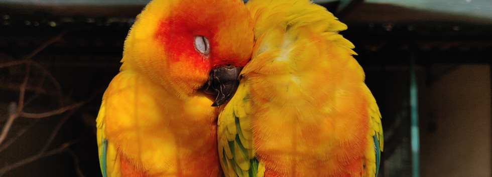 Eric and Goldie- Sun Conures.jpg