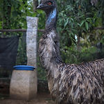 Blue Emu.jpeg