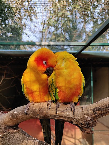 Goldie and Eric Sun Conure.jpg