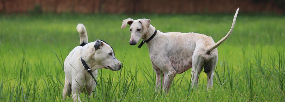 Patch and Sanju- Dogs.JPG