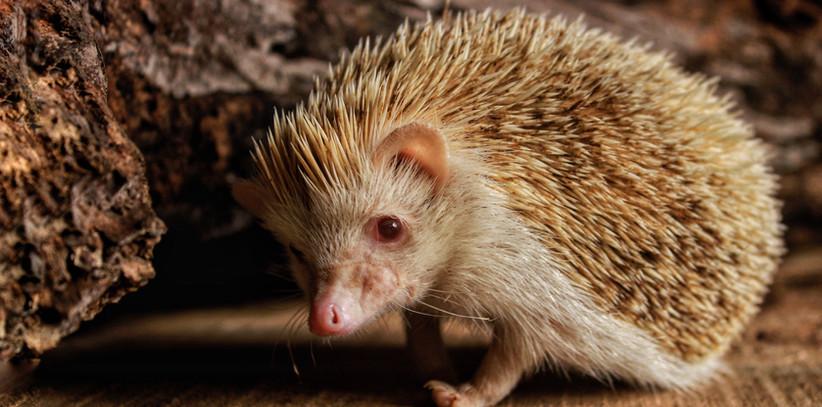Shiro- Hedgehog.jpeg