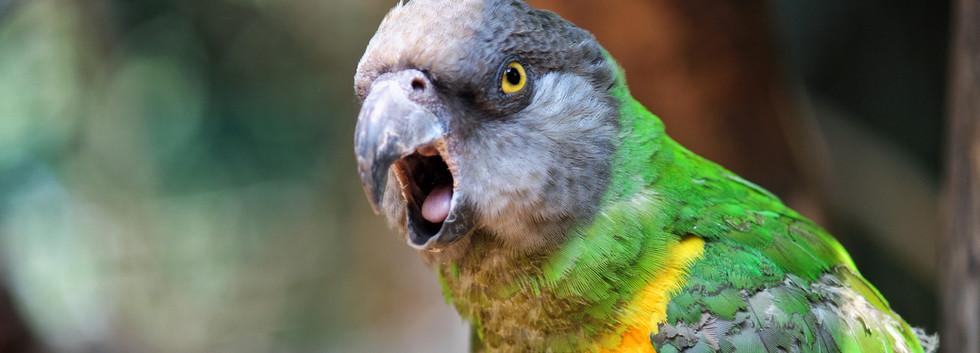 Rio- Senegal Parrot.jpeg