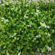 White Flower Leaves (Indoor).JPG